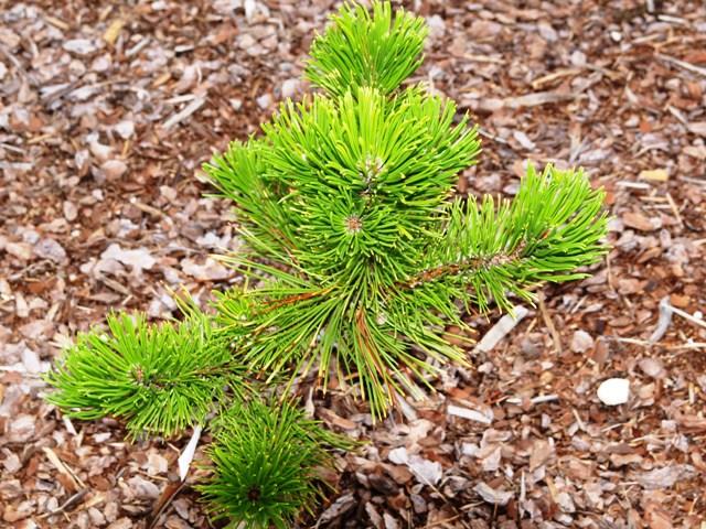 Pinus mugo 'Winter Sun'