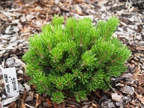 Pinus mugo 'Winzig'