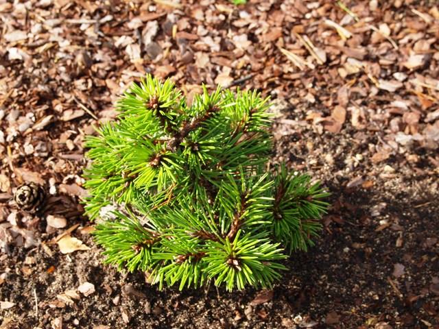 Pinus nigra 'Bobo'