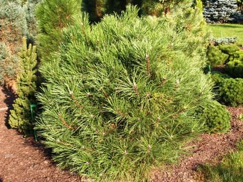 Pinus nigra 'Globosa'