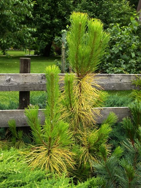 Pinus nigra 'Goldfingers'