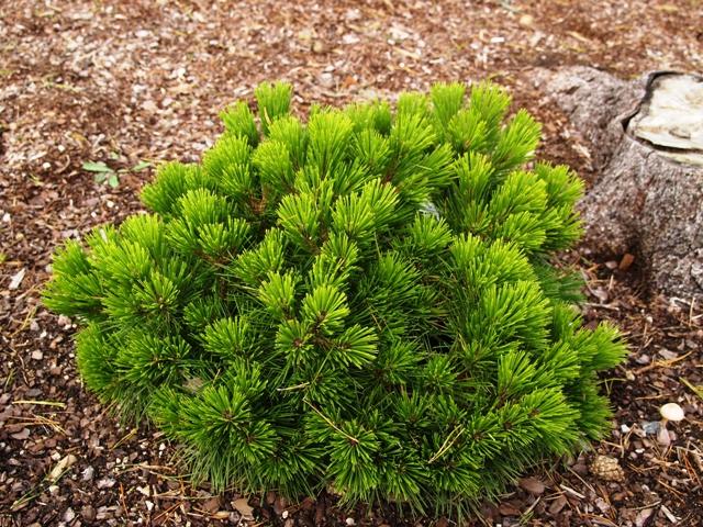 Pinus nigra 'Pierrick Brégeon'