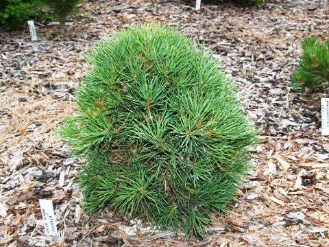 Pinus nigra 'Pygmaea'