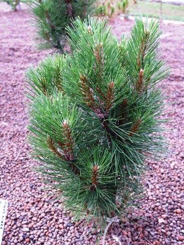 Pinus nigra 'Rondello'