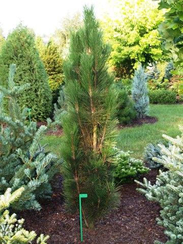 Pinus nigra 'Scholz'