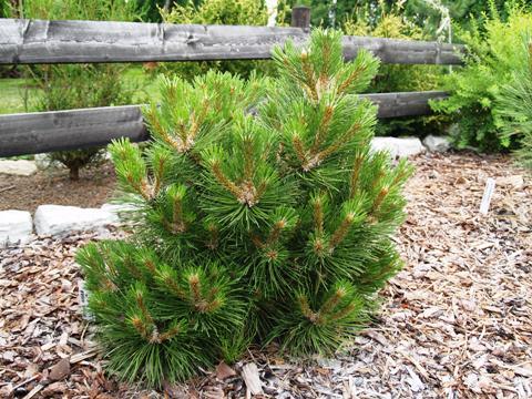 Pinus nigra 'Syców'