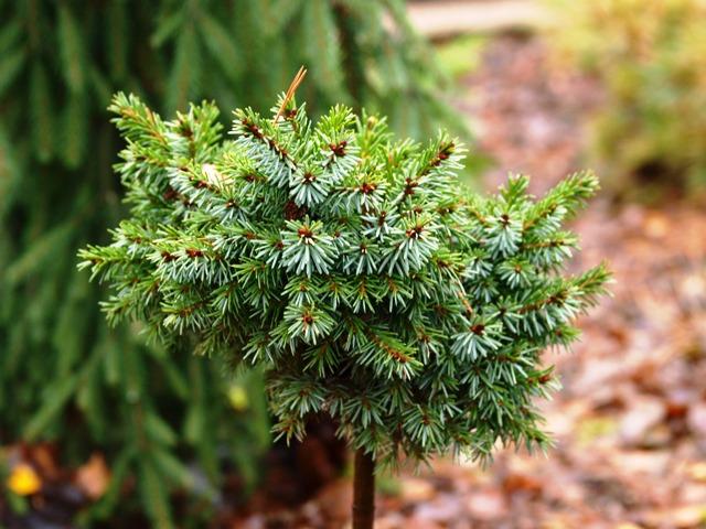 Picea omorika 'Beskid'