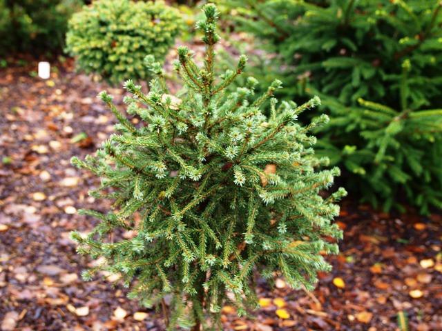 Picea omorika 'Cinderella'