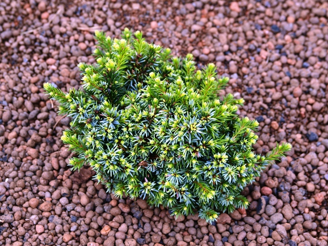 Picea omorika 'Minimax'