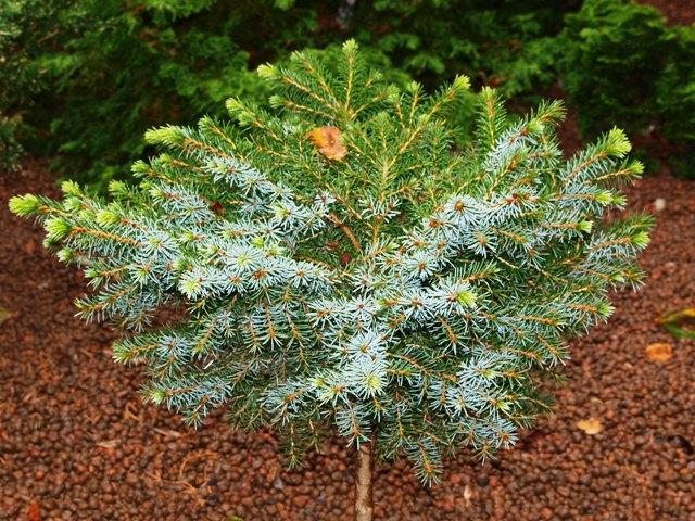 Picea omorika 'Minirockycany'