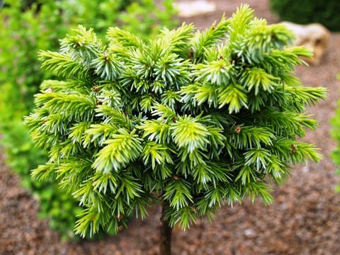 Picea omorika 'Pimpf'