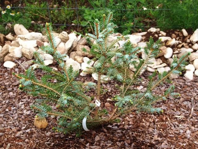 Picea omorika 'Silberblau'