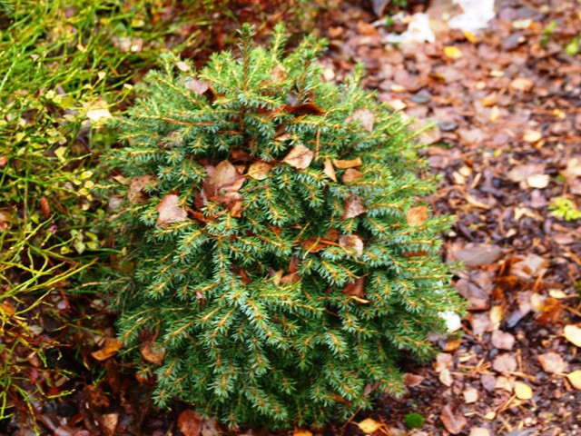 Picea omorika 'Treblitzsch'