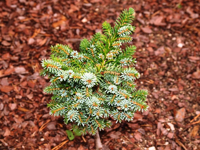 Picea omorika 'Zima'