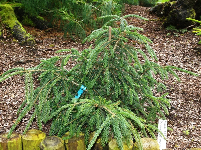 Picea orientalis 'Doverside Pendula'