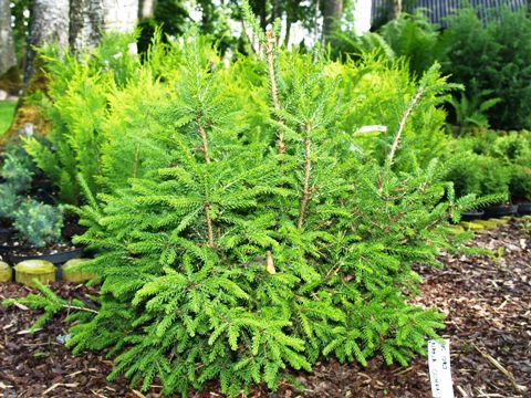 Picea orientalis 'Nana Compacta'