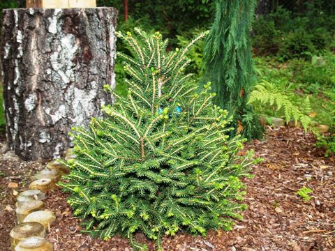 Picea orientalis 'Filip's Little Mound'