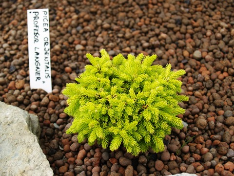 Picea orientalis 'Professor Langner'