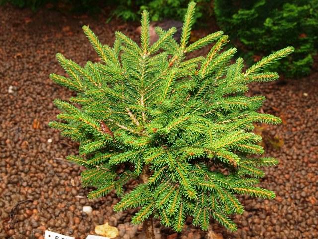 Picea orientalis 'Shadow's Broom'
