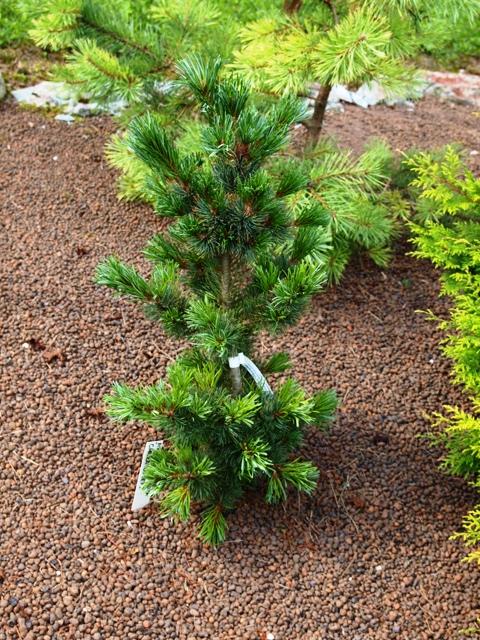 Pinus parviflora 'Chikuza Goten'