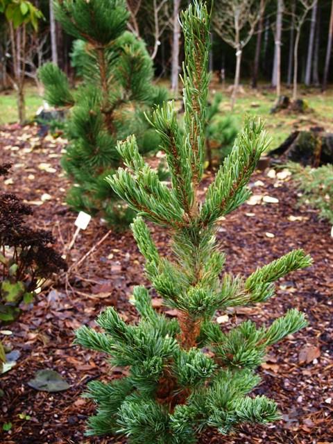 Pinus parviflora 'Dai-ho'