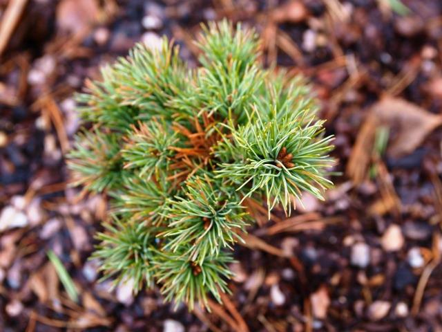 Pinus parviflora 'Floppy Joe'