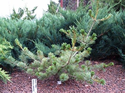 Pinus parviflora 'Green Monkey'