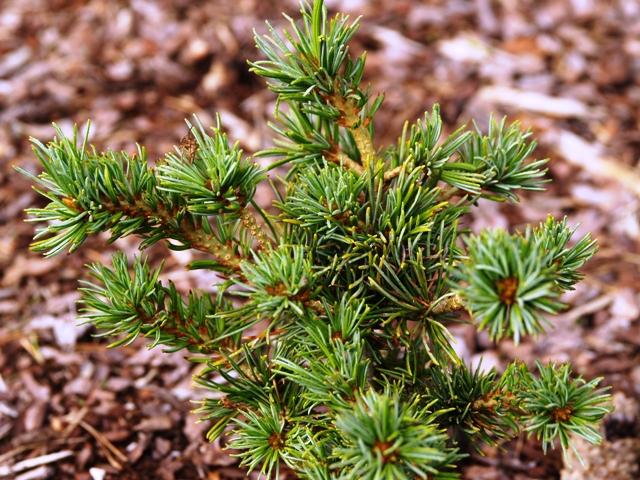 Pinus parviflora 'Kobe'