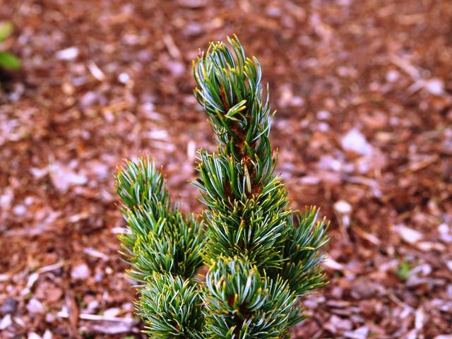 Pinus parviflora 'Meiko'