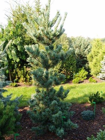 Pinus parviflora 'Tempelhof'