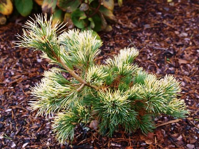 Pinus parviflora 'Tenysu-Kazu'