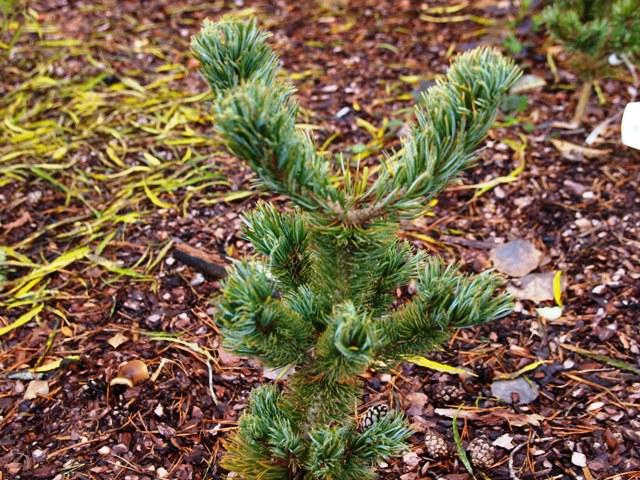 Pinus parviflora 'Tribune'