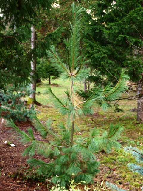 Pinus peuce x P. x schwerinii 'Fulda'