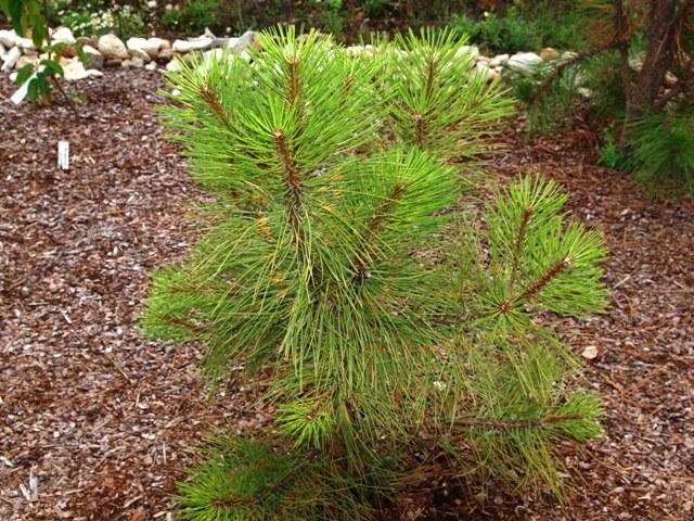 Pinus ponderosa 'Agnieszka'