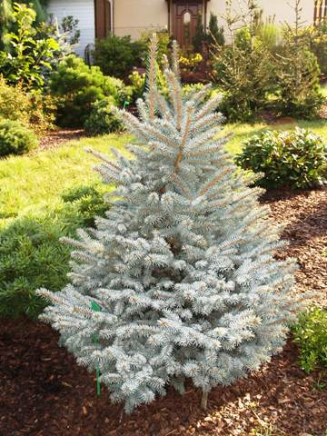 Picea pungens 'Barabits Compact'