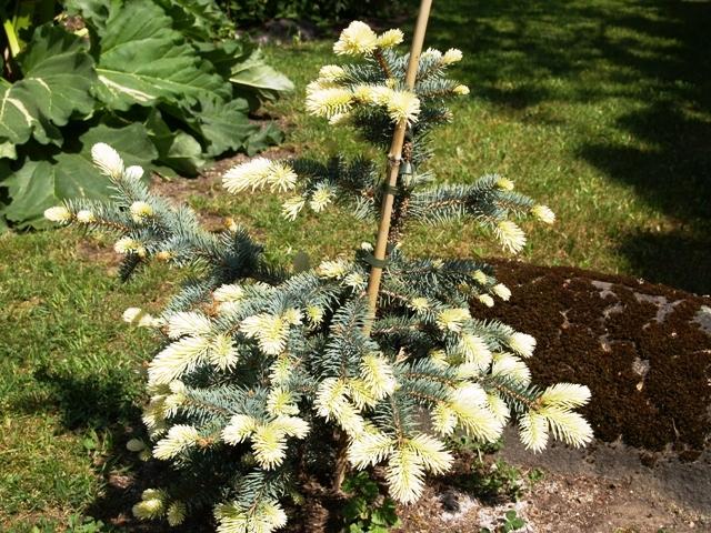 Picea pungens 'Bialobok'