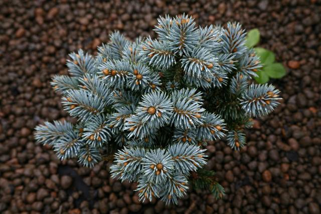 Picea pungens 'Blue Pearl'