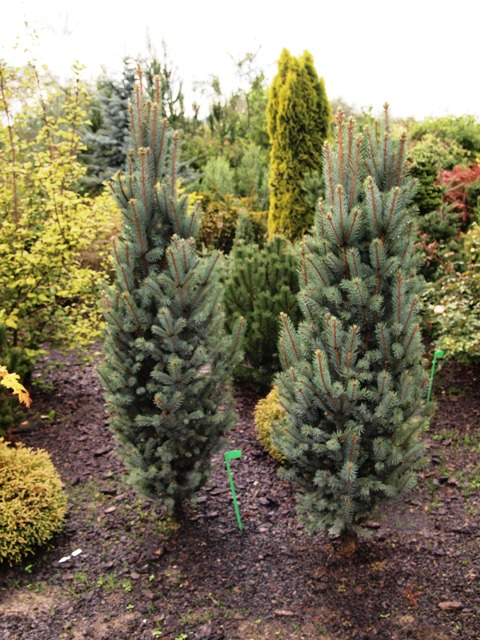 Picea pungens 'Blue Totem'