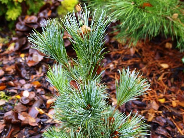 Pinus pumila 'Bonsai'