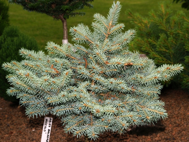 Picea pungens 'Bronisze'