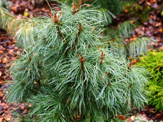 Pinus pumila 'Compacta'
