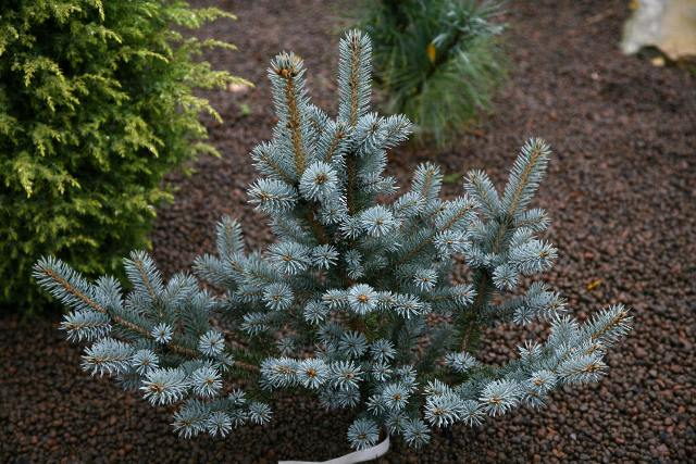 Picea pungens 'Corbet'