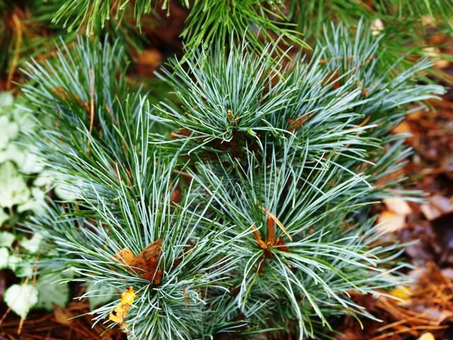 Pinus pumila 'Elektra'