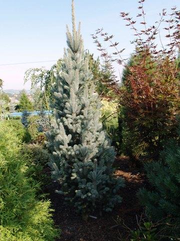 Picea pungens 'Columnaris Glauca'