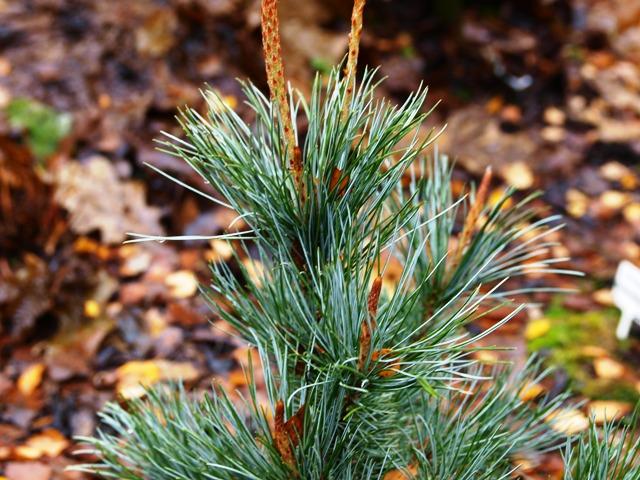 Pinus pumila 'Glauca Stöckmann'