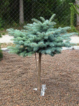 Picea pungens 'Nidiformis Kalouš'