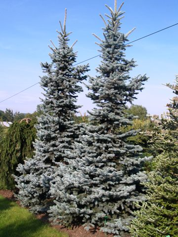 Picea pungens 'Oldenburg'