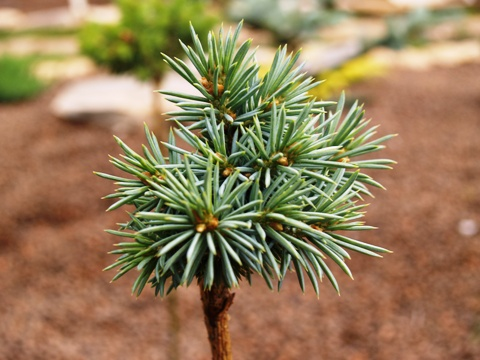 Picea pungens 'Pali'