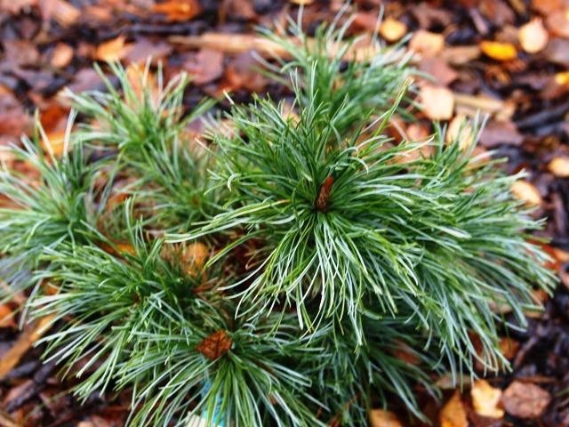 Pinus pumila 'Rogów'