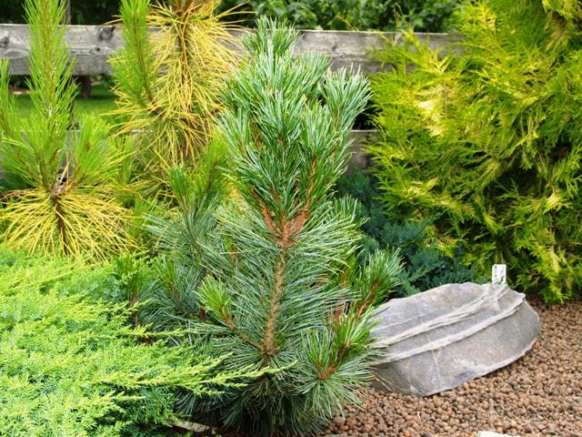 Pinus pumila 'Säntis'